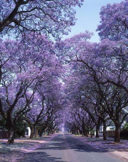 L'arbre Jacaranda de Pretoria – AFRIQUE DU SUD