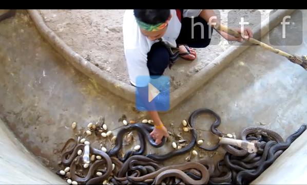 Freaky !!! L'homme qui murmurait à l'oreille des cobras…