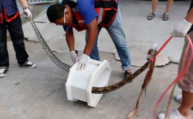 python-mord-thailandais-sur-ses-toilettes-jewanda2